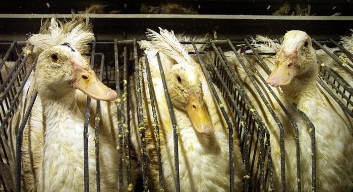 beeld eenden foie gras