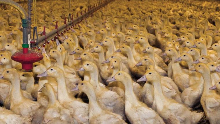 beeld eenden in de vee-industrie