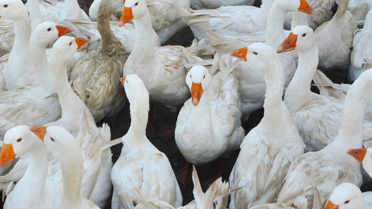 Beeld ganzen in de vee-industrie