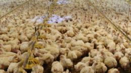 beeld vleeskippen in de vee-industrie