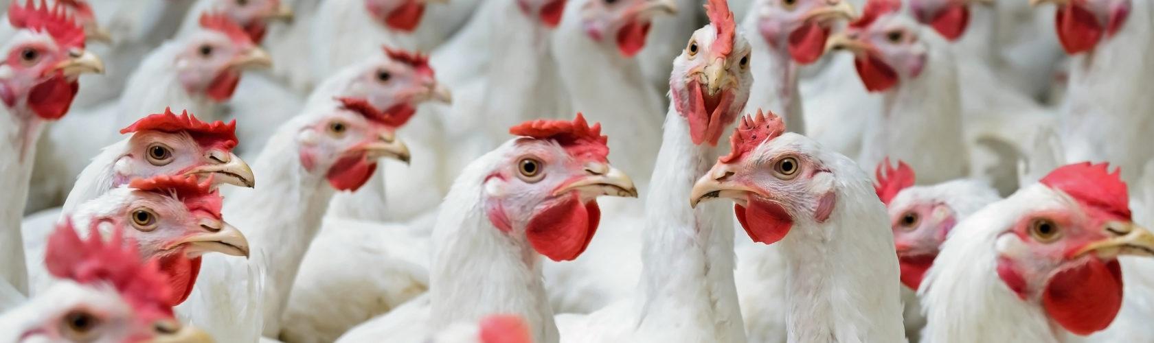 beeld kippen in de vee-industrie