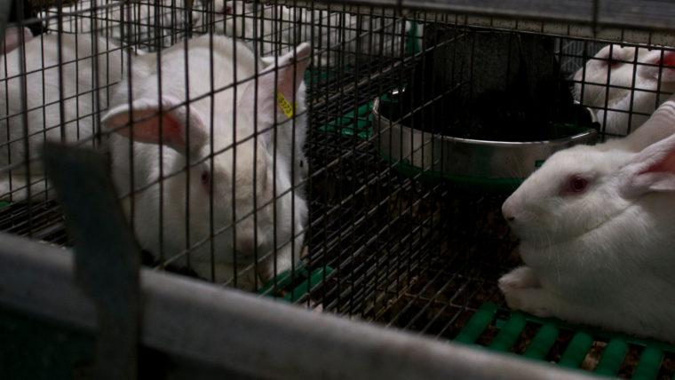 beeld konijnen in de vee-industrie