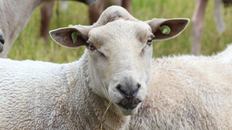 beeld schapen