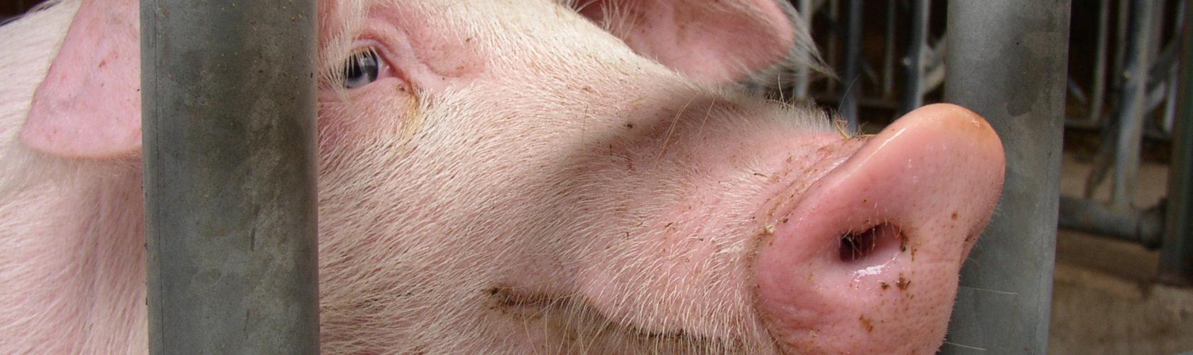 beeld varkens in de vee-industrie