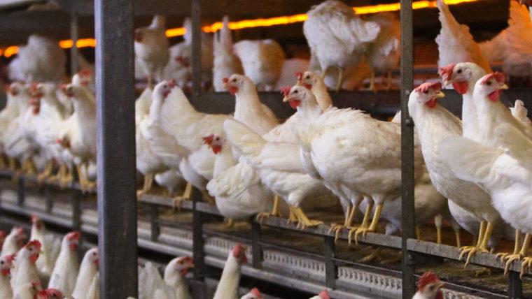 beeld legkippen in de vee-industrie