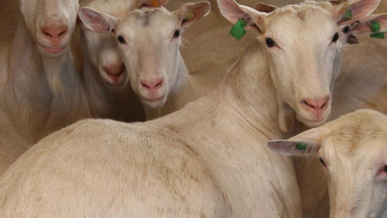 beeld geiten in de vee-industrie