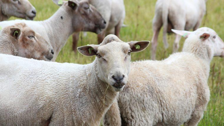 beeld schapen in de wei