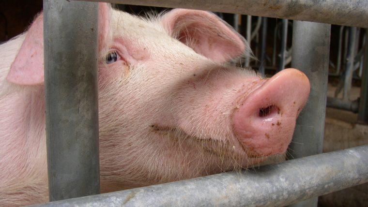 beeld varken in de vee-industrie
