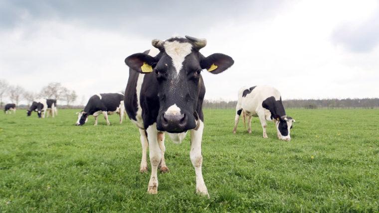 Biologische koe in de wei