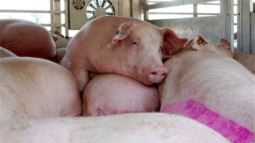 beeld varken met hittestress