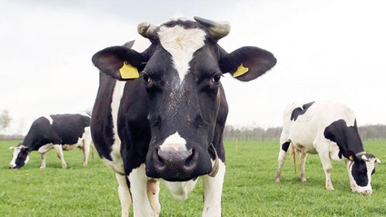 beeld: droombeeld koe