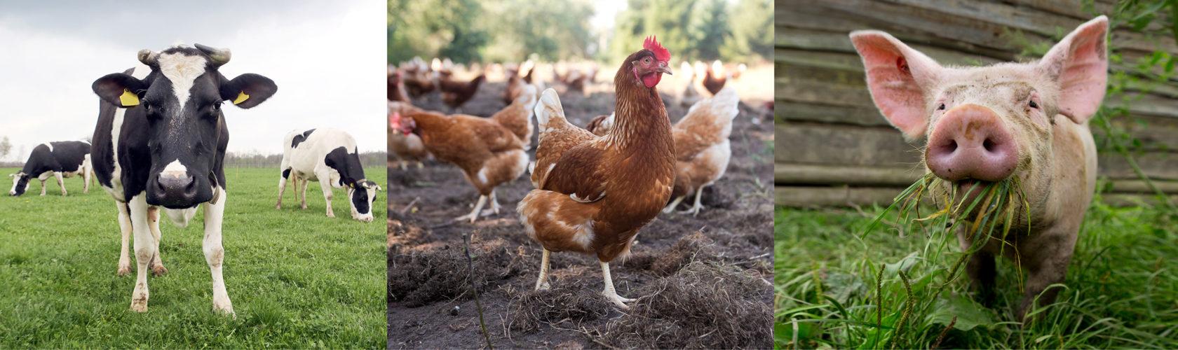 beeld: droombeeld kip, koe, varken