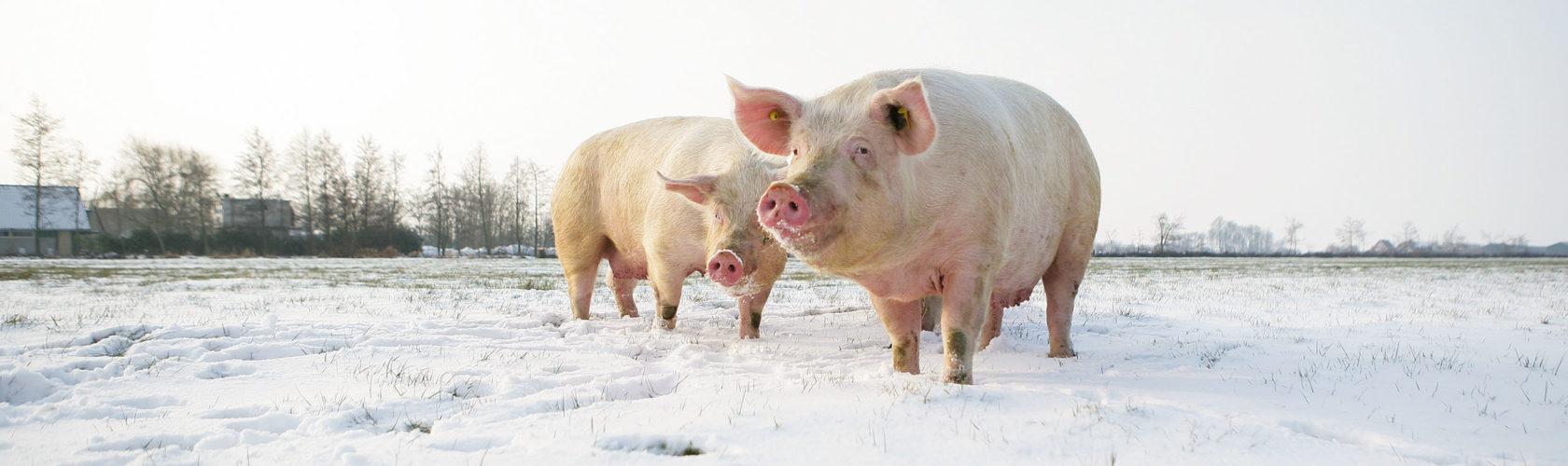 Biologische moedervarkens in de sneeuw