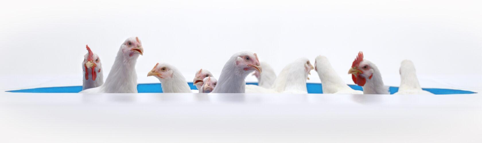 Beeld Albert Heijn kippen op een rij