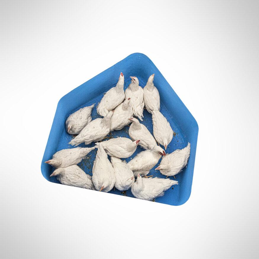 Beeld Albert Heijn logo gevuld met zestien kippen