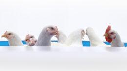 Beeld Albert Heijn kippen