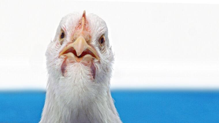 Beeld close up van een kippenhoofd