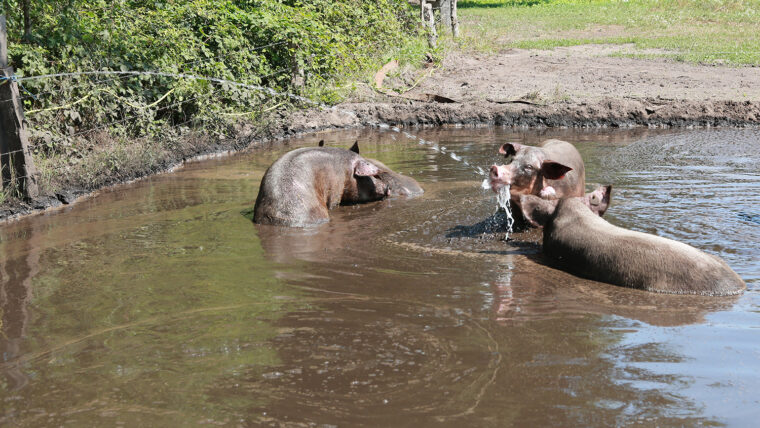 beeld: varkens spelen in de modder met een waterstraal