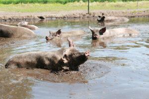 beeld: varken rolt en speelt in de modder