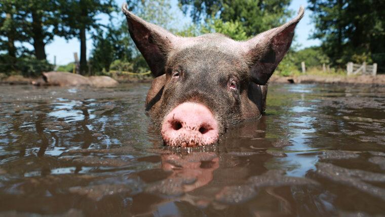 beeld: varken ligt in de modder