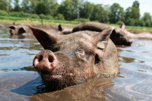 beeld: varken ligt in een modderpoel
