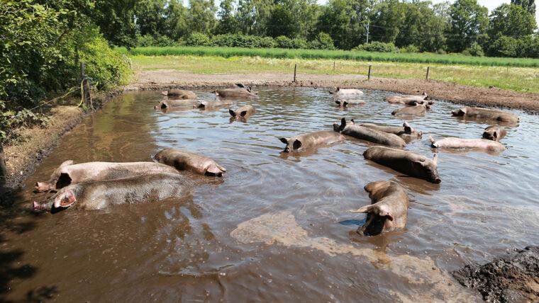 beeld: grote modderpoel vol varkens