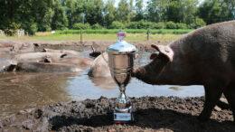 beeld: varken snuffelt aan een bokaal