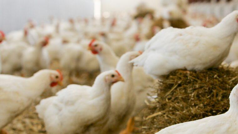 Beeld: kippen in een overdekte uitloop van een Beter Leven stal