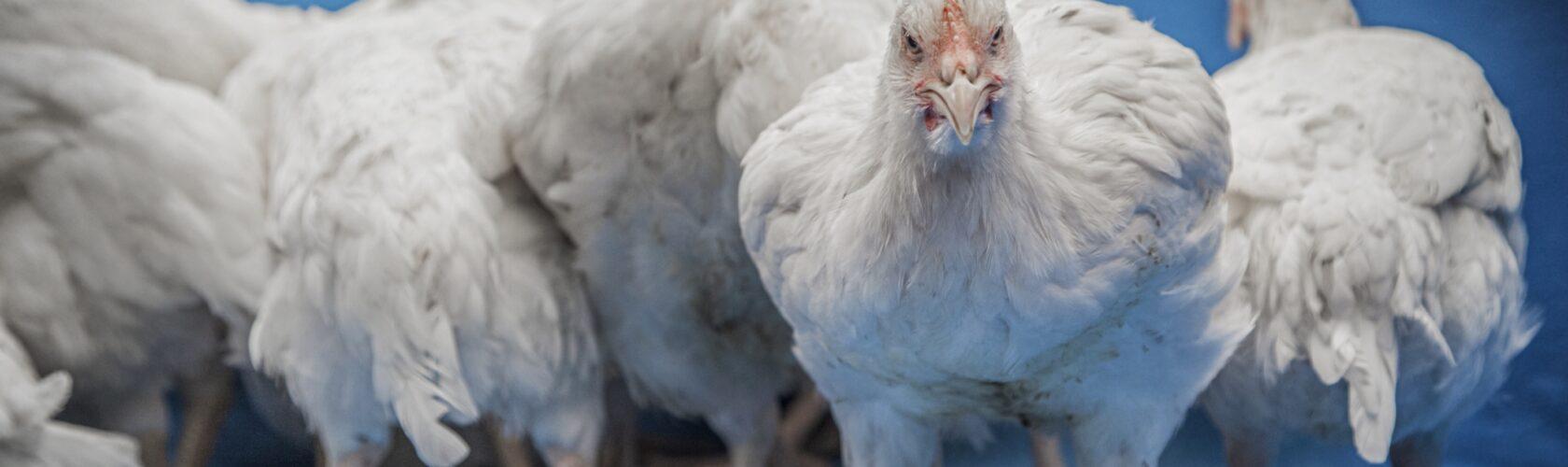 beeld kippen AH