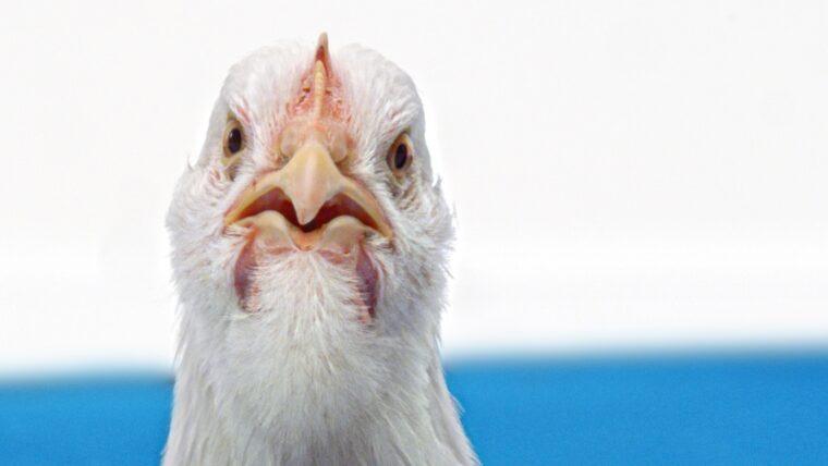 Beeld: close up van een boze kip
