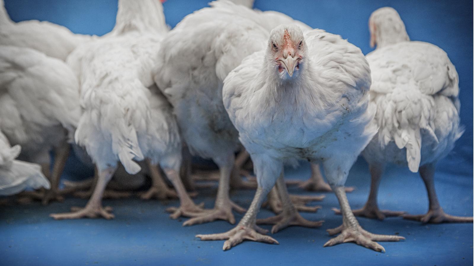 Concurrenten Albert Heijn geven kip meer ruimte