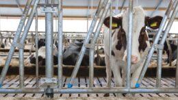Beeld: Koe kijkt door stalen hekwerk