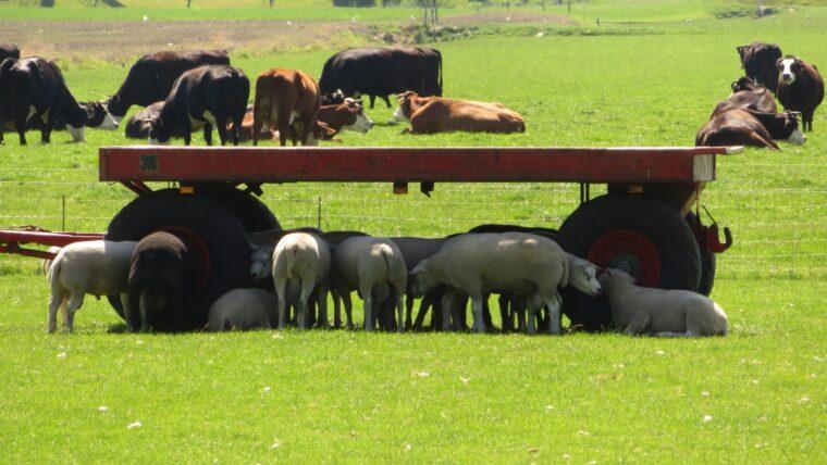 Beeld: schapen zoeken schaduw
