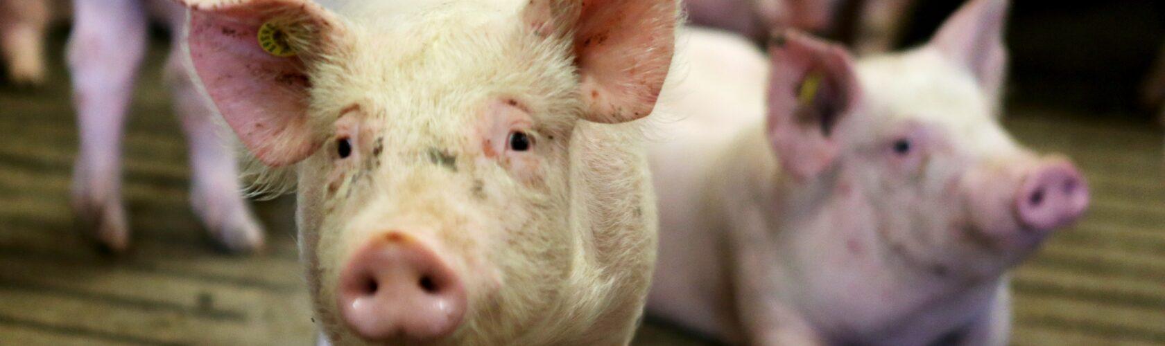 beeld varken in vee-industrie