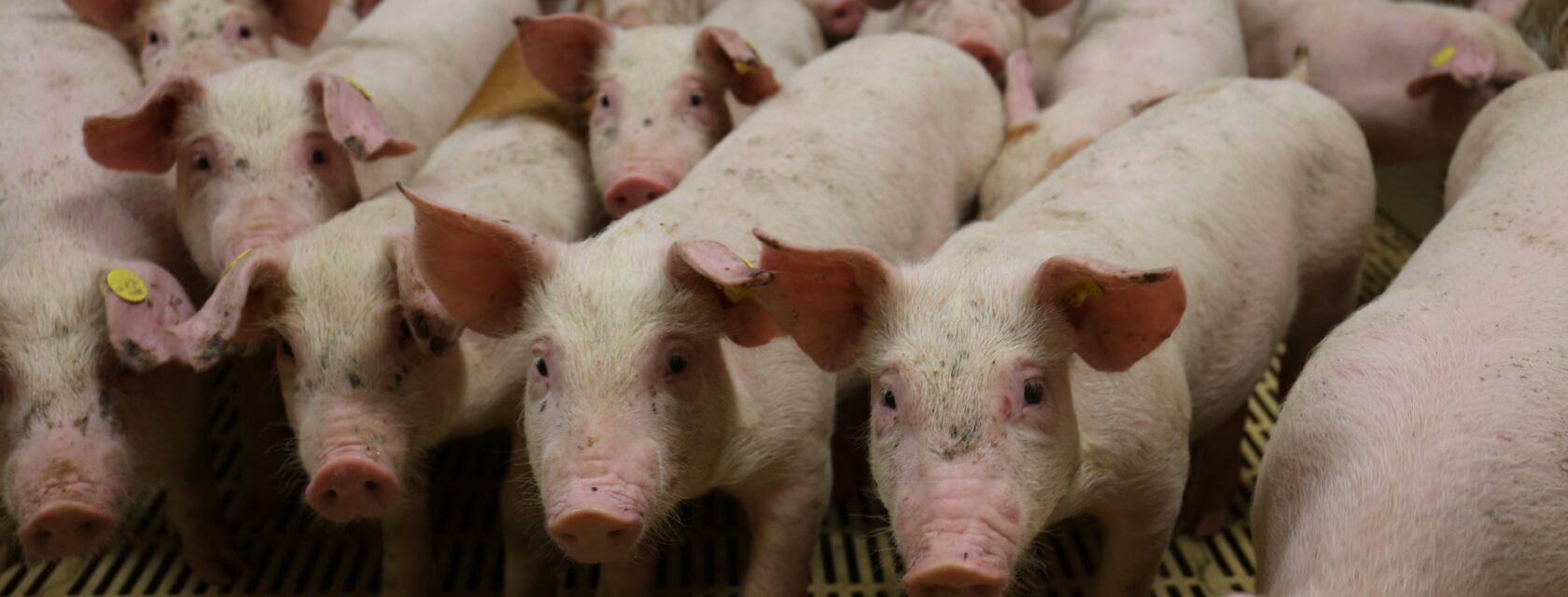 beeld varkens in vee-industrie