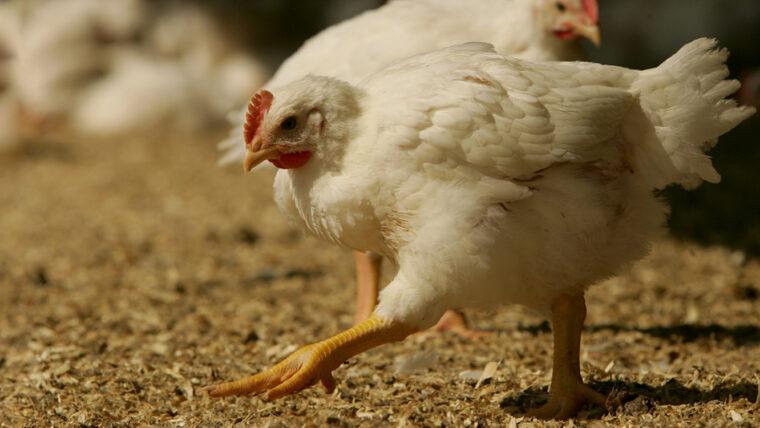 Beeld: kip met Beter Leven ster in de overdekte uitloop