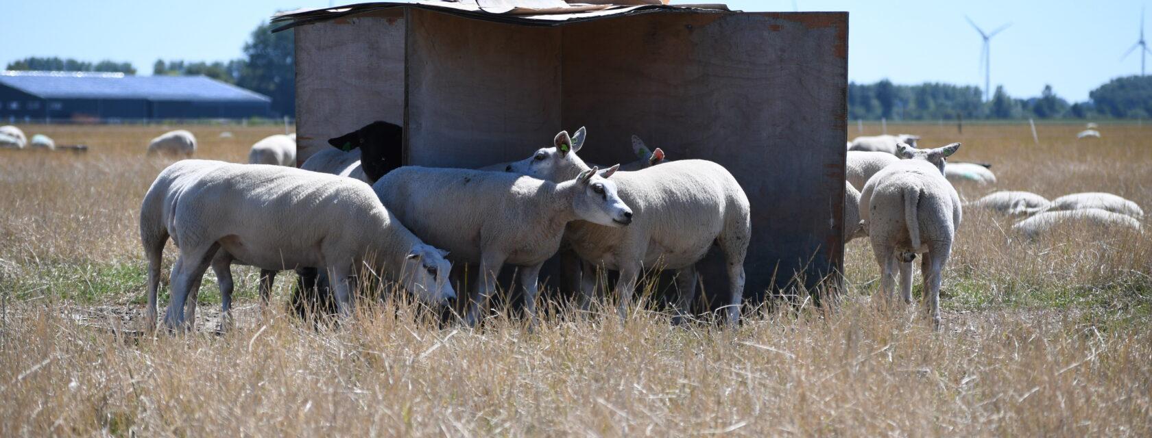 schapen hitteleed homepage