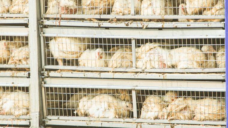 Beeld: kippen dicht op elkaar in een transportwagen